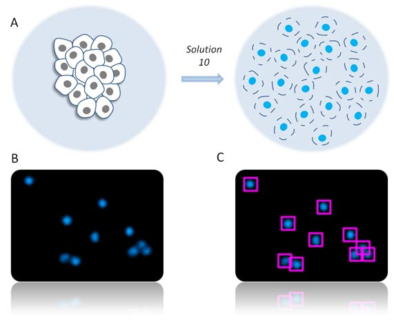 NucleoCounter® protocol to count and determine the viability of cells grown directly on microcarriers