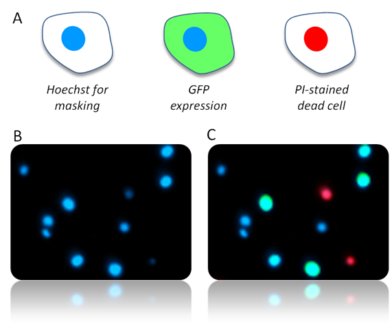 Colored dyes indicate cell numbers, GFP expressing and non-viable cells