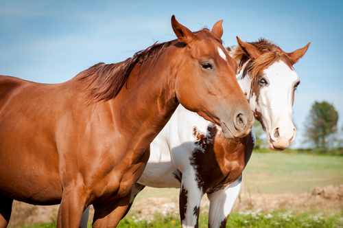 Two brown and white stallions