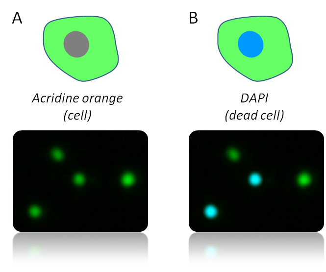 Acridine orange and DAPI staining live and dead cells