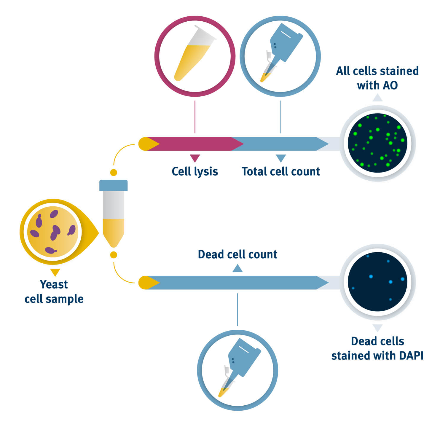 Steps to count yeast cells from a sample using NucleoCounter® diagram