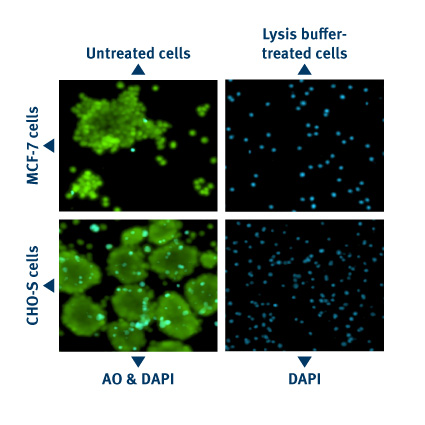 Aggregated Cell - Lysis Data