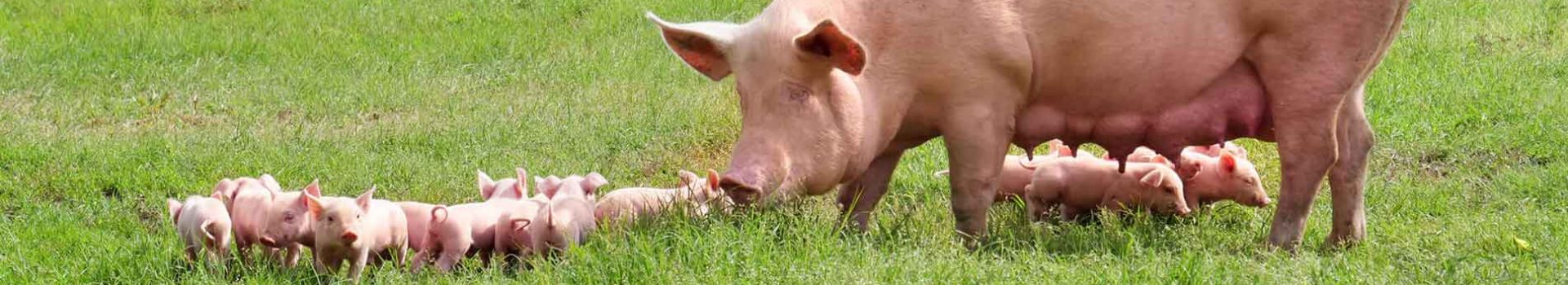 A female pig with her piglets on a farm