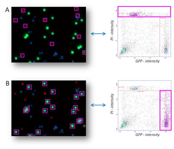 Cell staining in NucleoView™ using GFP transfection