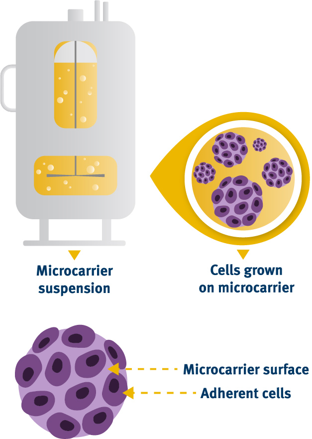 Microcarrier suspension and cells grown on microcarrier